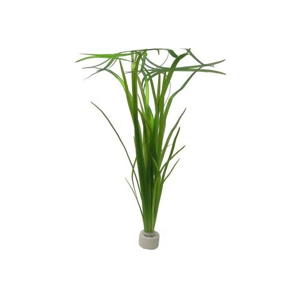 Vallisneria americana 39 natans 39 en bouquet plante pour for Plante pour aquarium